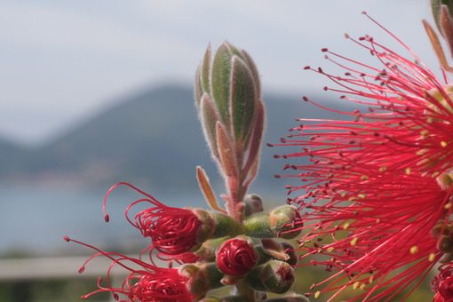 Macro Photo of Callistemon flowers in a garden overlooking the Ligurian sea. Spikes of red flowers in spring with the background of the sea. - LEphotoart.com