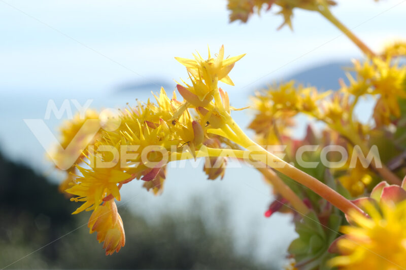 Macro Photo of Sedum Palmeri. Succulent plant with yellow flowers. Background the sea of Liguria. - MyVideoimage.com