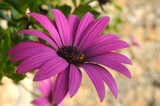 Macro photo of African daisy (Dimorphotheca pluvialis). Purple flower. - MyVideoimage.com