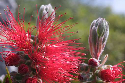 Macro photo of Callistemon flowers in a garden overlooking the Ligurian sea. Ears of red flowers in spring. - MyVideoimage.com