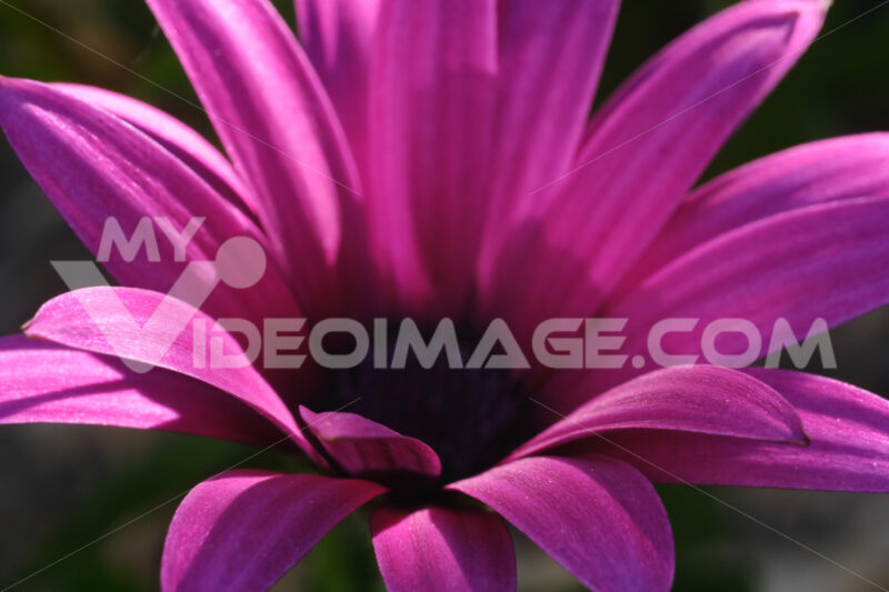 Macro photograph of a beautiful flower with purple red petals. African pink daisy. - MyVideoimage.com