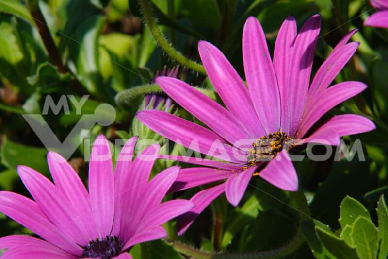 Macro photograph of a beautiful flower with purple red petals. African pink daisy  in a Mediterranean garden. Foto di fiori - LEphotoart.com