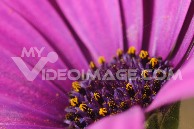 Macro photograph of the yellow pollen of a beautiful flower with purple red petals. African Pink Daisy. - LEphotoart.com