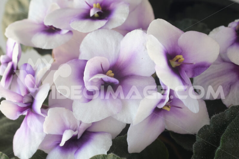 Macro photography of African violet flowers of white and purple color. Spring flowering of  plant. - MyVideoimage.com
