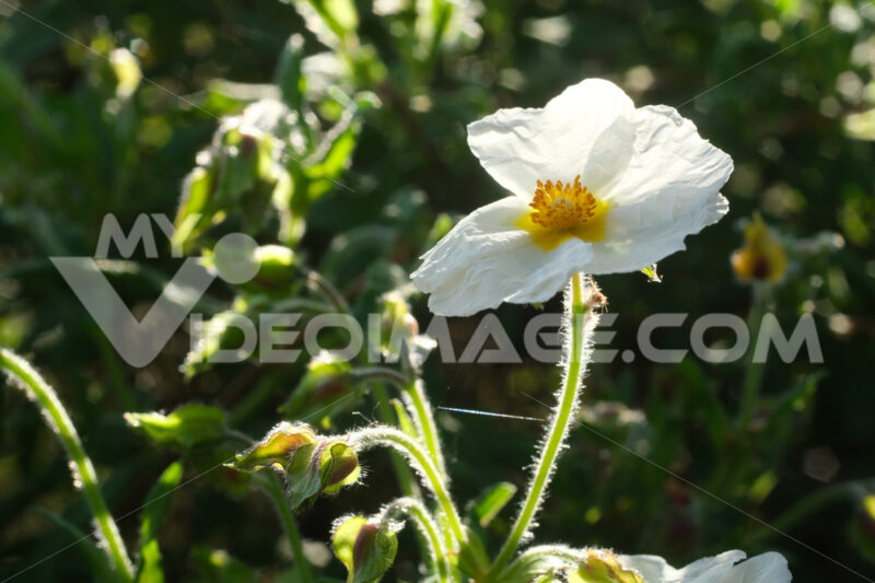Macro shot of flowering with small plant roses typical of the Mediterranean garden with crumpled petals. - LEphotoart.com
