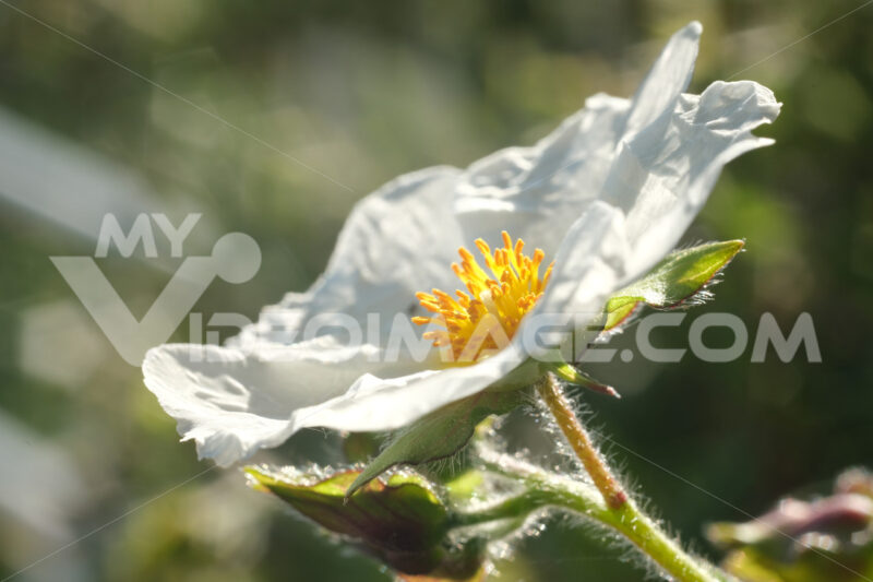 Macro shot of flowering with small plant roses typical of the Mediterranean garden with crumpled petals. Immagini fiori - LEphotoart.com