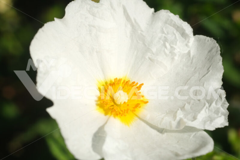 Macro with white cistus flowers in a Ligurian garden. Flowering with roses typical of the Mediterranean climate with petals. - MyVideoimage.com