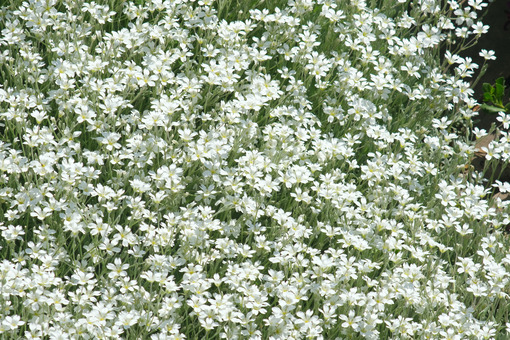 Meadow with small white flowers seen from above. Soft carpet of grass in spring bloom. - MyVideoimage.com