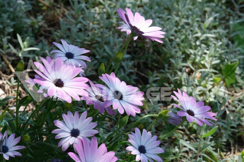 Mediterranean garden with  African daisy flowers (Dimorphotheca pluvialis). - MyVideoimage.com