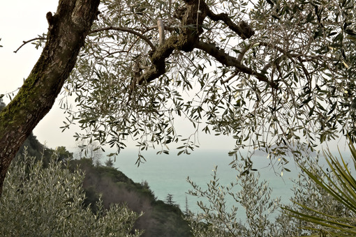 Mediterranean garden with olive trees - MyVideoimage.com | Foto stock & Video footage
