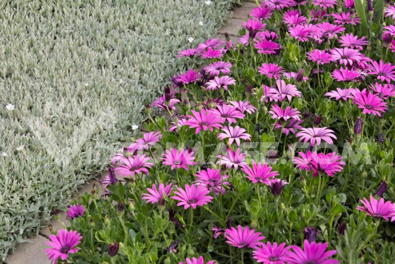 Mediterranean garden. Flowers of Iberis, African daisy - MyVideoimage.com