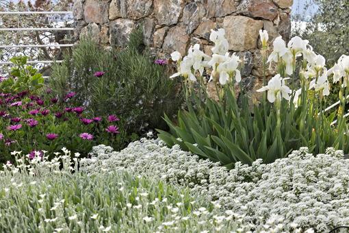 Mediterranean garden. Flowers of Iberis, African daisy. - MyVideoimage.com