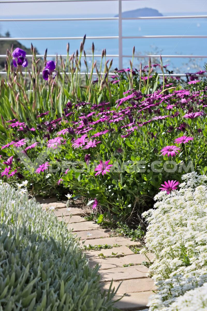 Mediterranean garden. Flowers of Iberis, African daisy. Foto di fiori. - LEphotoart.com