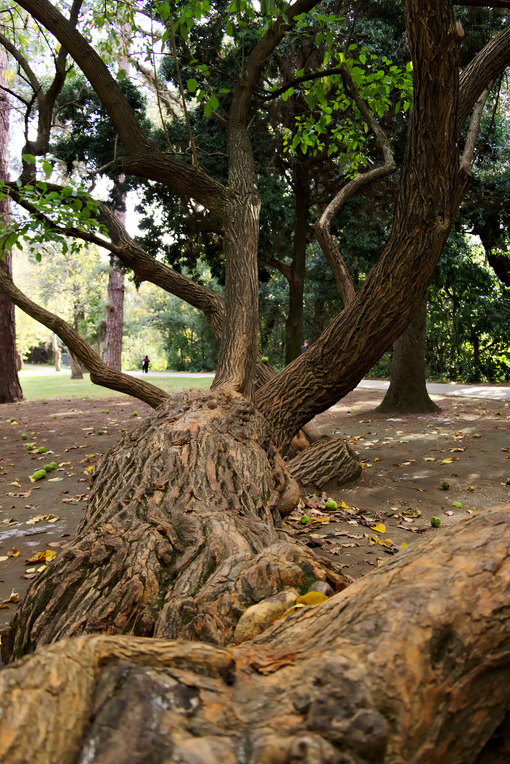 Monumental tree. Reggia di Caserta, Italy. 10/27/2018.  Monumental tree within the park. Detail of the trunk - MyVideoimage.com | Foto stock & Video footage