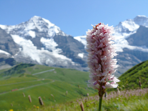 Mountain flower in the Swiss landscape. - MyVideoimage.com