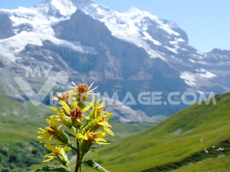 Mountain flower in the Swiss landscape. - MyVideoimage.com