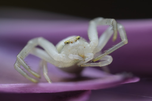 Moves paws. Beautiful white spider on a purple flower. Stock photos. - MyVideoimage.com | Foto stock & Video footage
