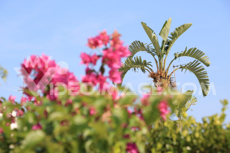 Muse plant in a Mediterranean garden with pink flowers and sky. - MyVideoimage.com