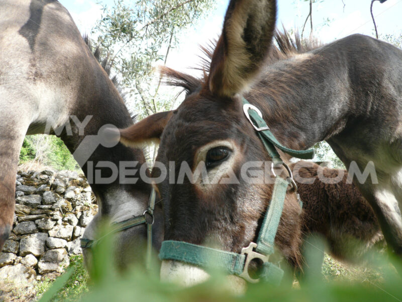 Muzzle of a mule that grazes in a land of Liguria, near the Cinque Terre. - MyVideoimage.com