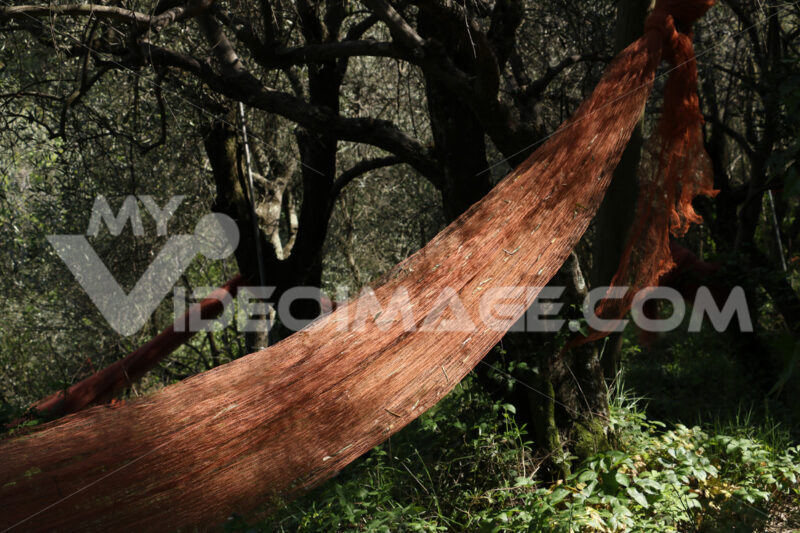 Nets for olive harvesting in a cultivation of plants in Liguria. - MyVideoimage.com | Foto stock & Video footage