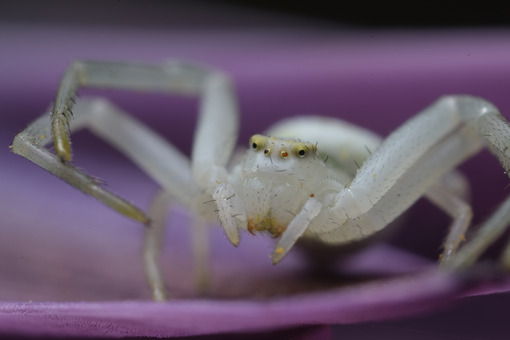 Nice spider. Beautiful white spider on a purple flower. Stock photos. - MyVideoimage.com | Foto stock & Video footage