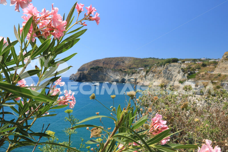 Oleander plant with pink flower. In the background of the cliff - MyVideoimage.com