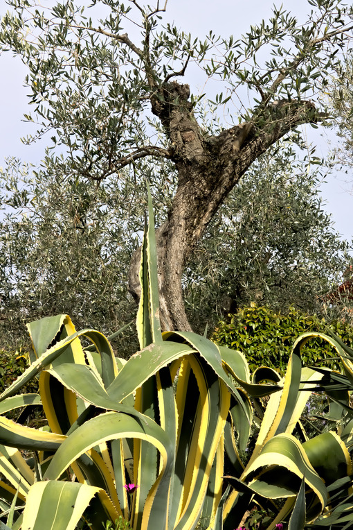 Olive and agave plant - MyVideoimage.com