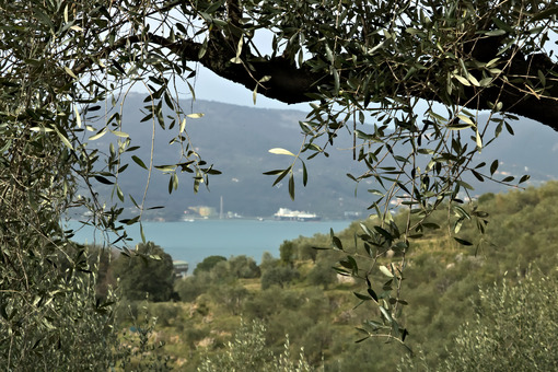 Olive branch with a hilltop background on the sea. Photo stock royalty free. - MyVideoimage.com