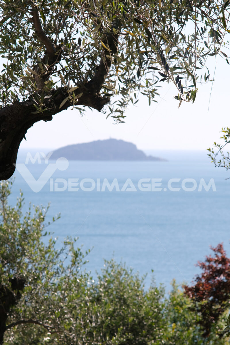 Olive grove on the Ligurian coast. In the gulf of La Spezia, near the Cinque Terre, a garden with olive trees. In the background the island. - MyVideoimage.com | Foto stock & Video footage