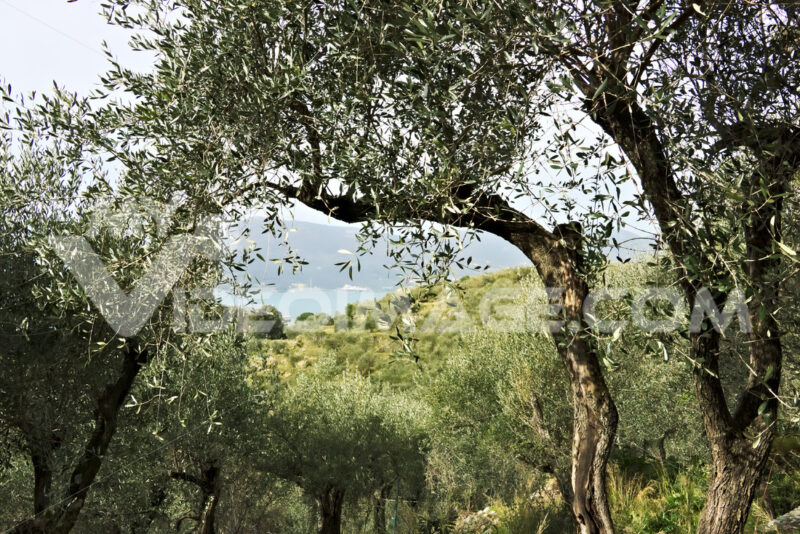 Olive grove on the sea of Liguria - MyVideoimage.com | Foto stock & Video footage