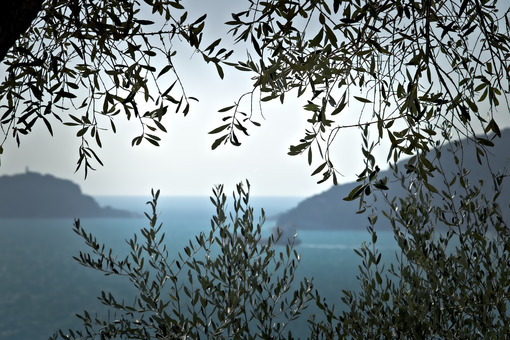 Olive plant in the background with the Ligurian Sea. Olive leaves photographed in the Gulf of La Spezia with the background of the Isola del Tino. - MyVideoimage.com | Foto stock & Video footage
