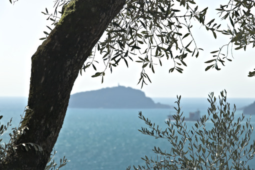 Olive plant in the background with the Ligurian Sea. Olive leaves photographed in the Gulf of La Spezia with the background of the Isola del Tino. - MyVideoimage.com