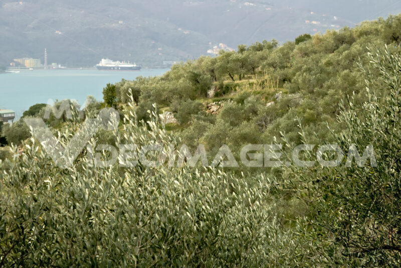 Olive plantation in the hills with the sea in the background - MyVideoimage.com | Foto stock & Video footage