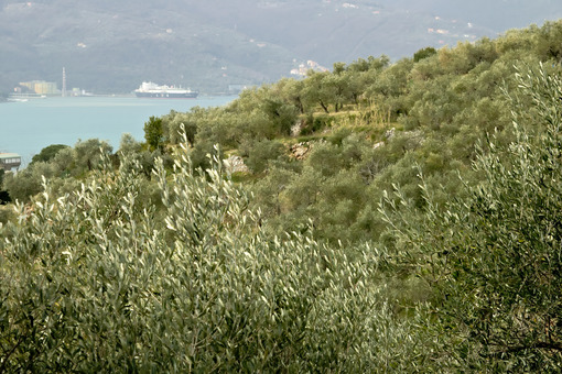 Olive plantation in the hills with the sea in the background - MyVideoimage.com