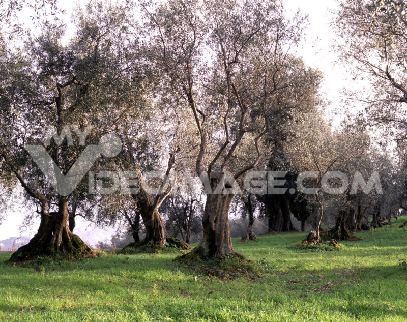 Olive trees of the Tuscan countryside. Landscape with cultivation of olive trees. - MyVideoimage.com | Foto stock & Video footage
