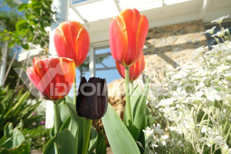 Orange and black tulips in a Mediterranean garden in Liguria. Spring flowering in a modern Italian garden. - MyVideoimage.com