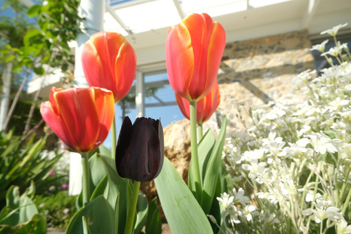 Orange and black tulips in a Mediterranean garden in Liguria. Spring flowering in a modern Italian garden. - MyVideoimage.com