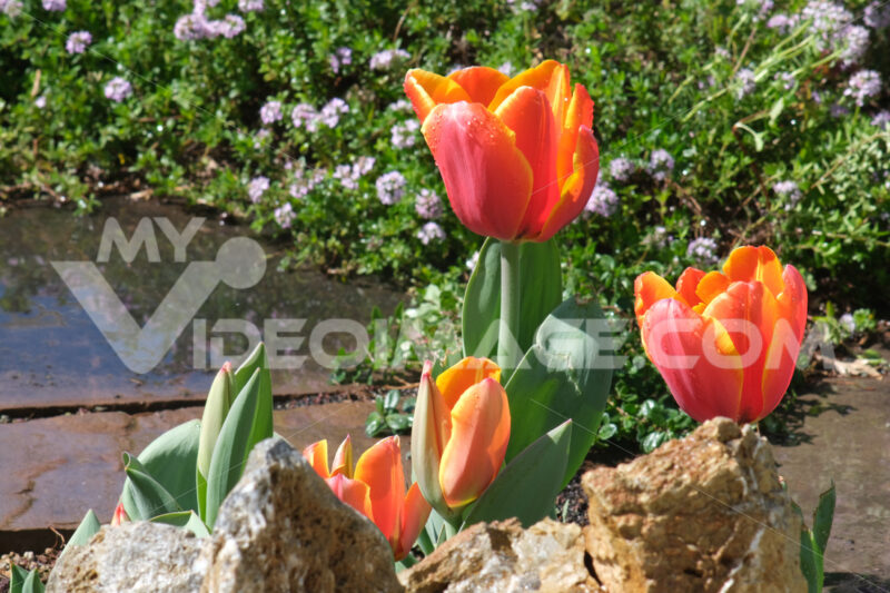 Orange tulip flowers in a garden. Beautiful spring bloom. - MyVideoimage.com