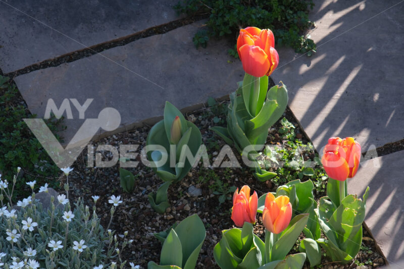Orange tulip flowers in a rock garden. Beautiful spring bloom with thyme. - MyVideoimage.com