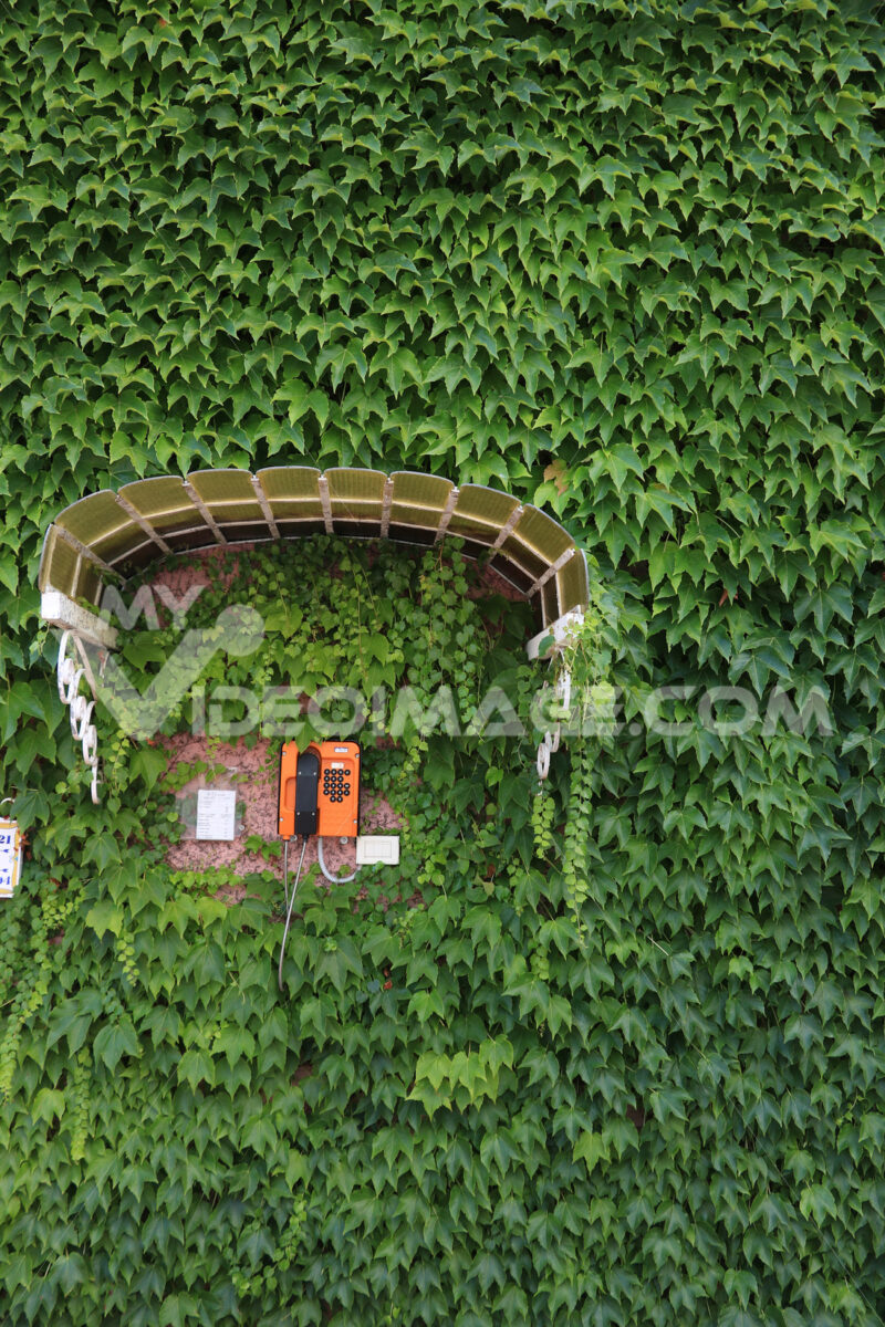 Orange wall-mounted public telephone set protected by a canopy. Wall covered with leaves of a Canadian climbing vine. - MyVideoimage.com