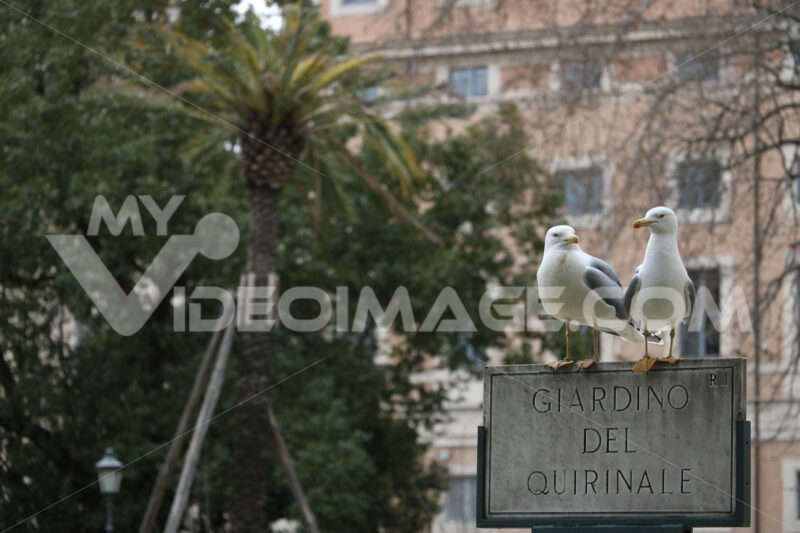 Pair of seagulls on a sign in the park of the Quirinale garden in Rome. - MyVideoimage.com