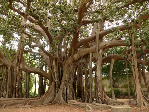 Palermo, Sicily, Italy.  Botanical Garden. Ficus also called magnolioide - MyVideoimage.com