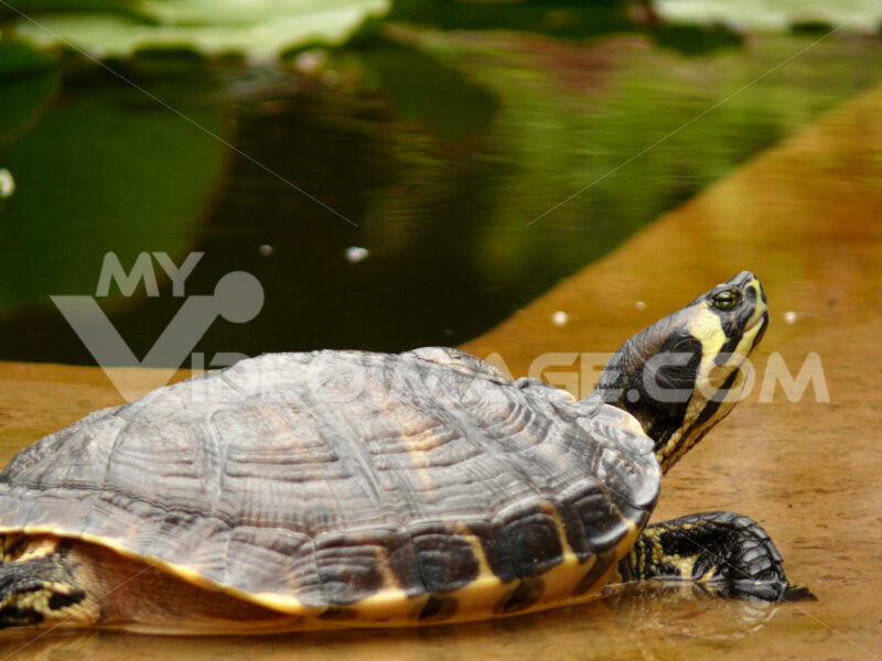Palermo, Sicily, Italy.  Turtle at the botanical garden - MyVideoimage.com