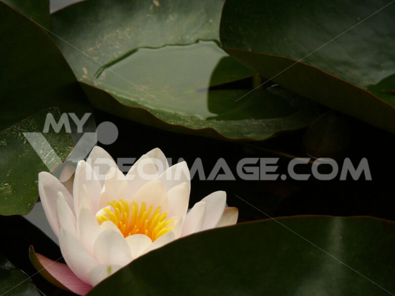 Palermo, Sicily, Italy. Water lily flower in the botanical garde - MyVideoimage.com
