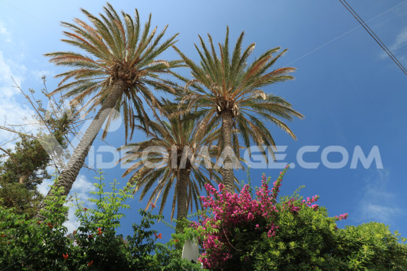 Palm and bougainvillea plants with leaves that move with the wind.  On the island of Ischia, in the Mediterranean Sea, numerous plants and flowers grow. - MyVideoimage.com