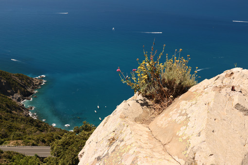 Panorama of the Cinque Terre sea. A helichrysum plant born on a rock overlooking the sea. Foto sfondo mare. - MyVideoimage.com