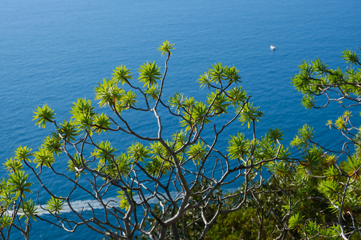 Panorama with the sea of the Cinque Terre in Liguria. Bushes of Euphorbia, plant of Mediterranean vegetation that grows on rocks. - MyVideoimage.com