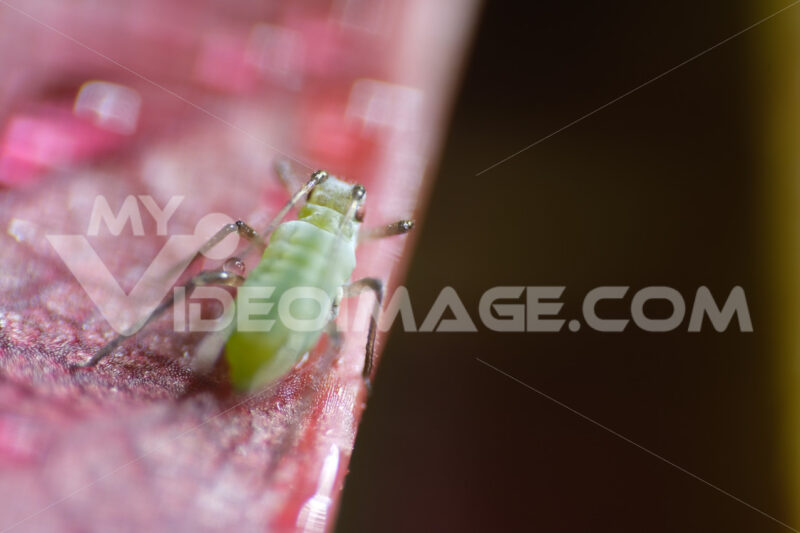 Parasite on rose. Aphid suck the sap from a leaf. Stock photos. - MyVideoimage.com | Foto stock & Video footage
