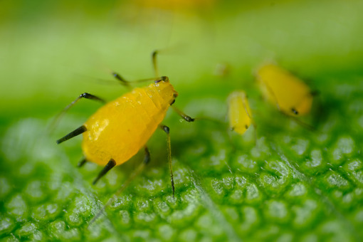 Parasite. Yellow aphid on a leaf suck the sap of the plant. Stock photos. - MyVideoimage.com   Foto stock & Video footage