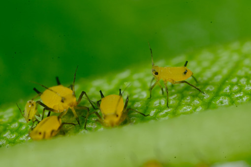 Parasites. Yellow aphids on a leaf suck the sap of the plant. Stock photos. - MyVideoimage.com   Foto stock & Video footage